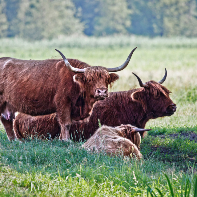 """Highland cattle cows family on pasture"" stock image"