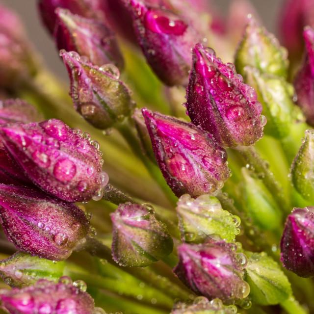 """flower buds"" stock image"