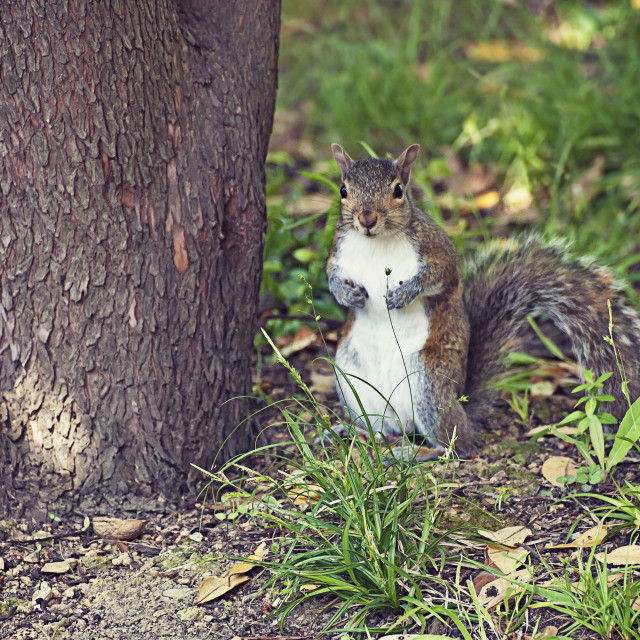 """Cute squirrel standing"" stock image"