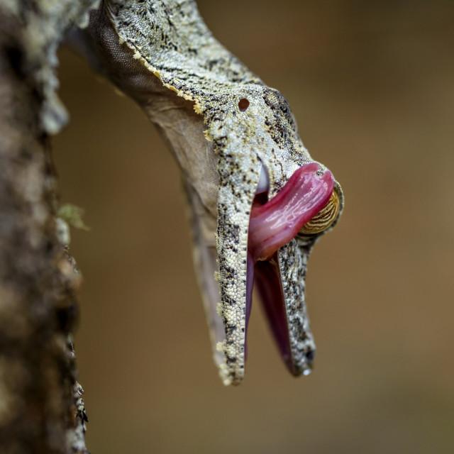 """Uroplatus gecko ( mossy leaf-tailed ),Madagascar."" stock image"