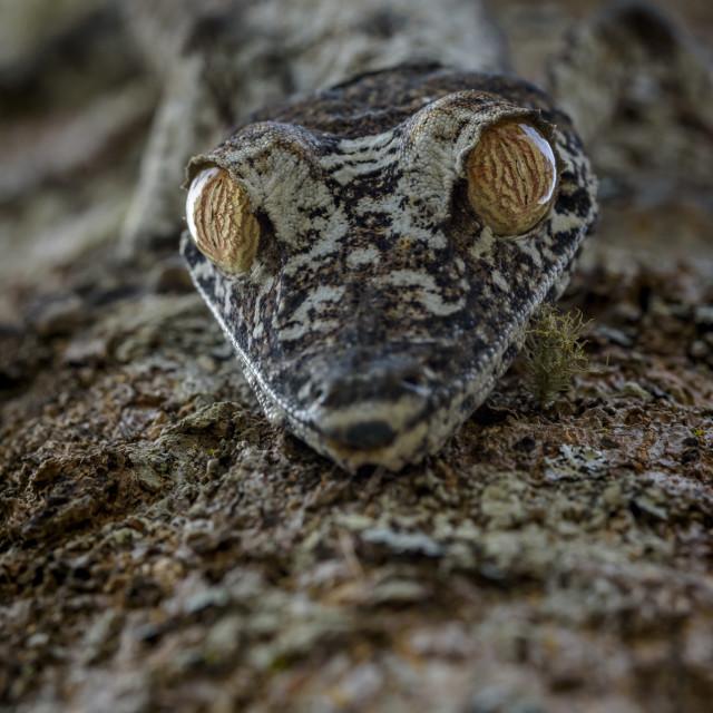 """Uroplatus gecko( mossy leaf-tailed ) ,Madagascar."" stock image"