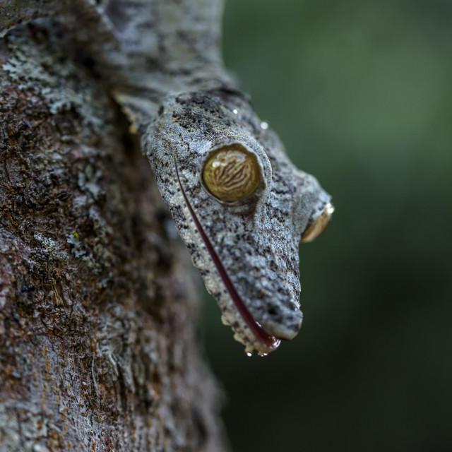 """Uroplatus gecko ,Madagascar. ( mossy leaf-tailed gecko)"" stock image"