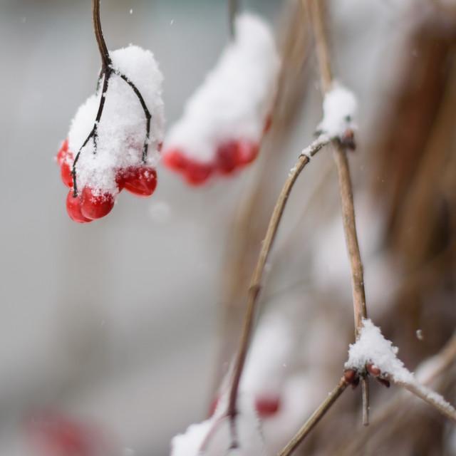 """Snow covered bush berries."" stock image"