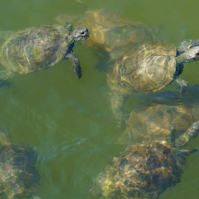 """""""Group of terrapins swimming"""" stock image"""
