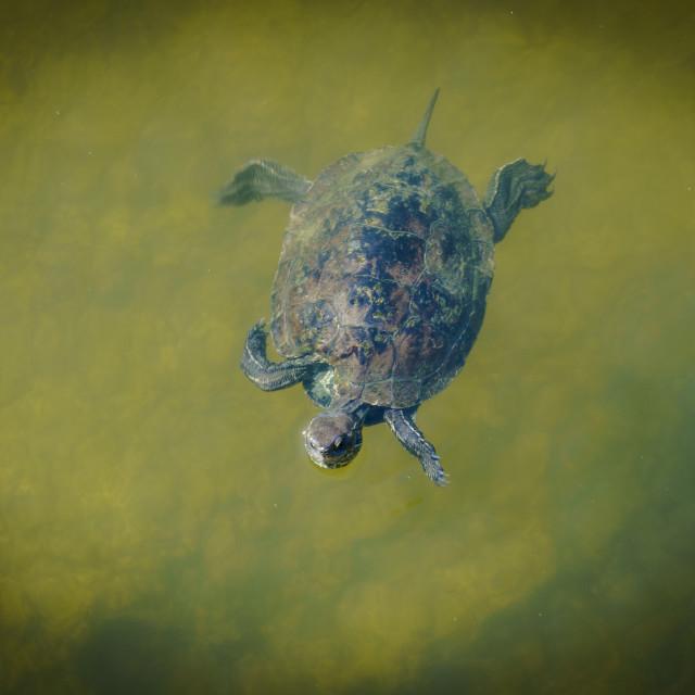 """Single terrapin swimming"" stock image"