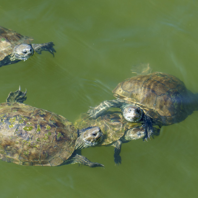 """""""Small group of terrapins"""" stock image"""