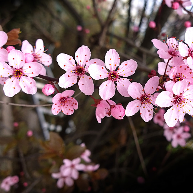 """""""Cherry tree flowers on blurred background"""" stock image"""