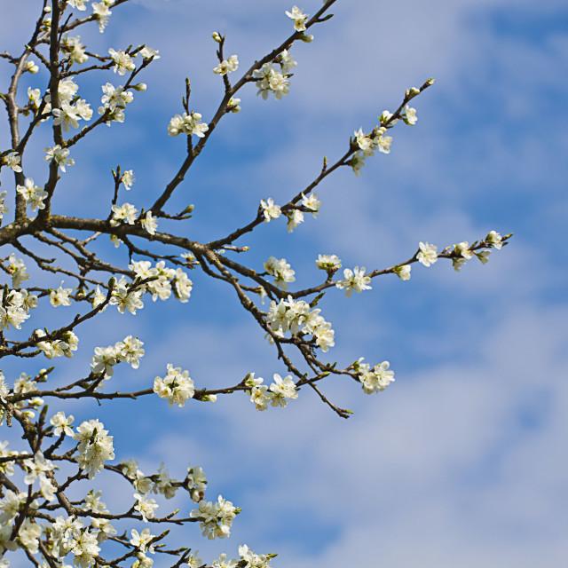 """White plum tree flowers and blue sky in springtime"" stock image"