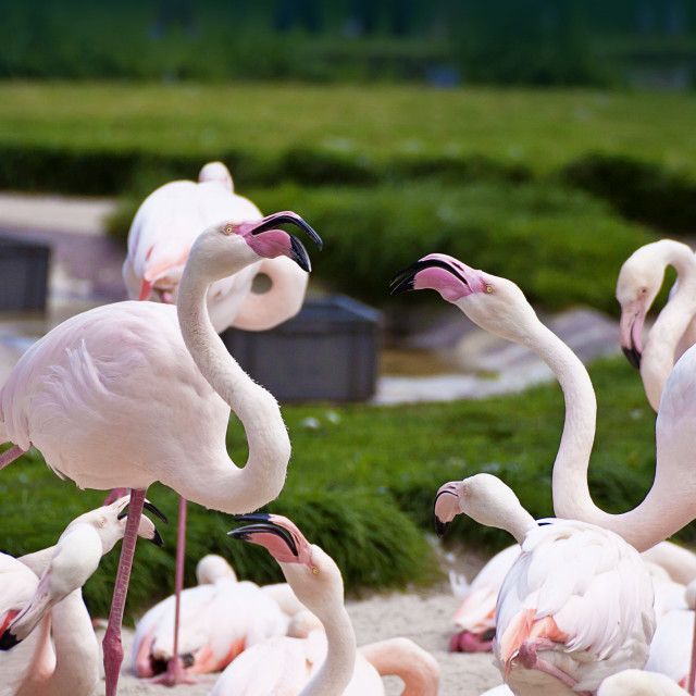 """""""two flamingos dispute with aggressive mood surrounded by other birds"""" stock image"""