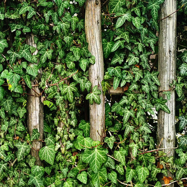 """Lush ivy leaves climbing on weathered vintage fence."" stock image"