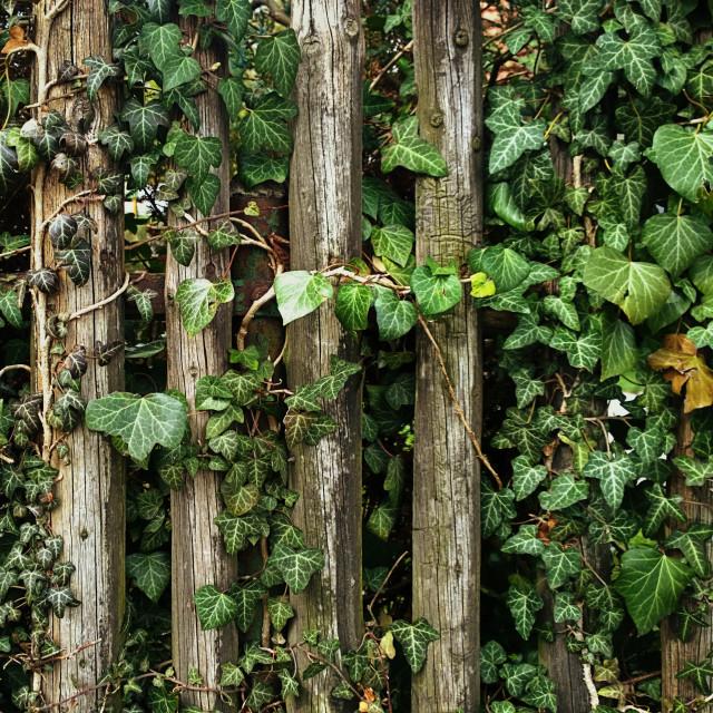"""Weathered wooden fence wirh lush ivy foliage"" stock image"