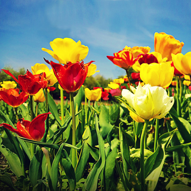 """""""Tulip flowers in a beautiful day of spring"""" stock image"""