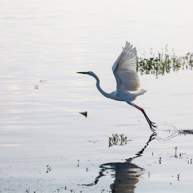 """""""Great Egret starting to fly from lake"""" stock image"""