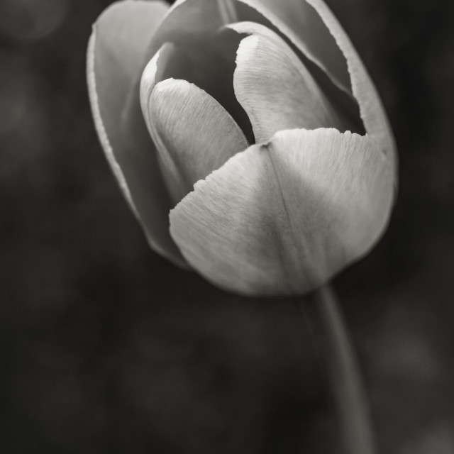 """Black and White Tulip"" stock image"