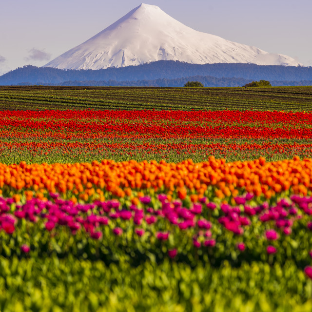 """Tulips and Osorno Volcano"" stock image"