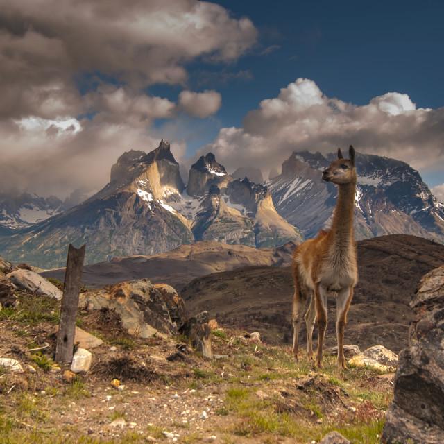 """Guanaco in Torres del Paine"" stock image"