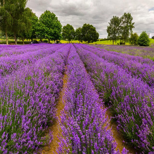 """Alphra Lavender Te Awamutu, New Zealand"" stock image"