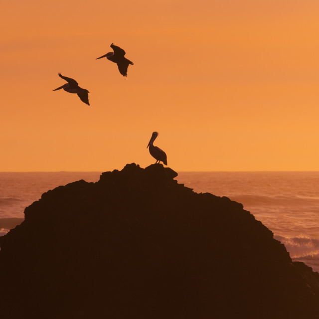 """Pelicans flying in front of the beach"" stock image"