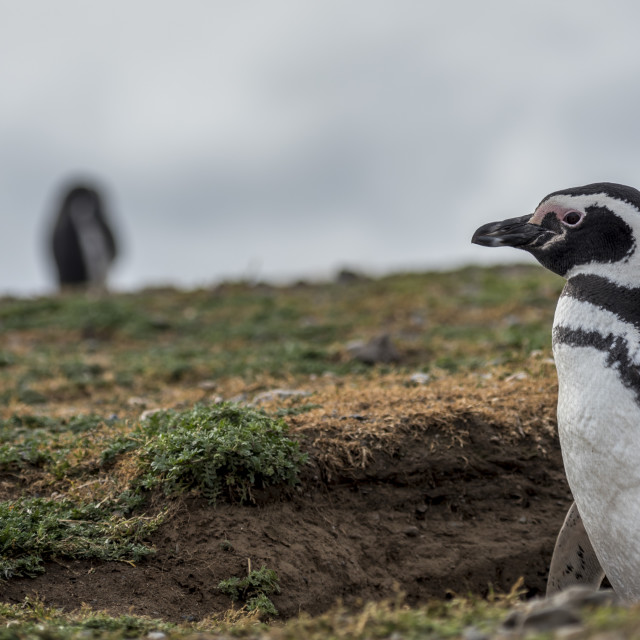 """Magellanic Penguins,Magdalena Island, Chile"" stock image"
