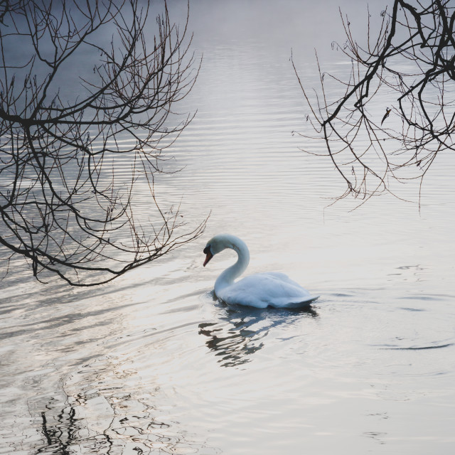 """Single swan on lake in cold misty fog weather"" stock image"