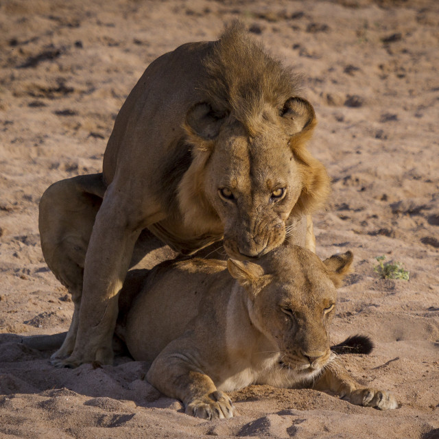 """""""Mating lions"""" stock image"""