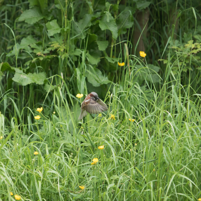 """Nature, Sparrow at Cowslip Meadow"" stock image"