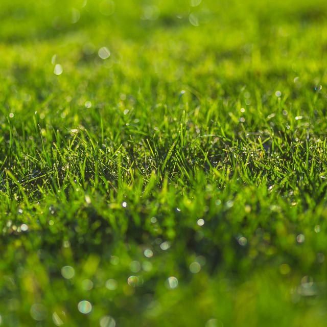 """""""Green grass on a sunny meadow morning sparkling dew drops close up macro photo"""" stock image"""