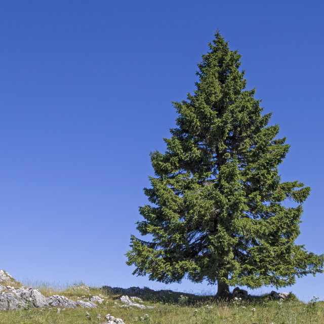 """spruce in mountains"" stock image"