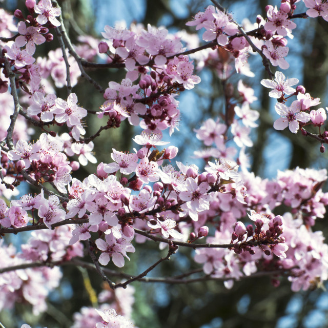 """""""Cherry tree blossoms on blurred background"""" stock image"""