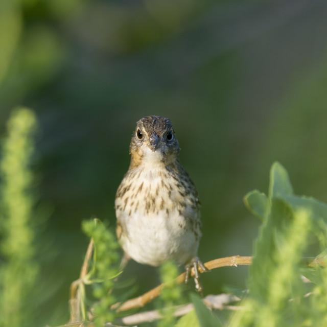 """""""Head On Seaside Sparrow"""" stock image"""