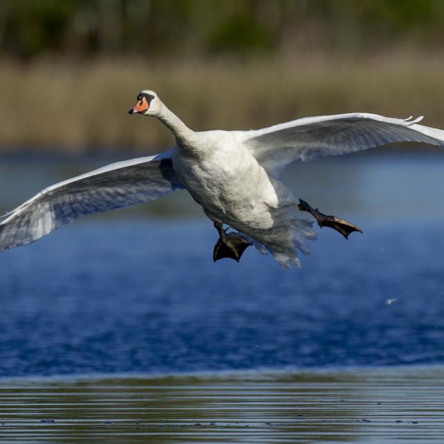 """""""Landing Swan"""" stock image"""