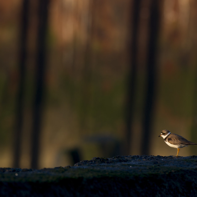 """""""Semipalmated Plover in front of Wall"""" stock image"""