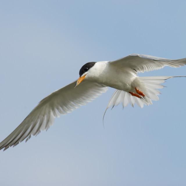 """Tern in the Blue Sky"" stock image"