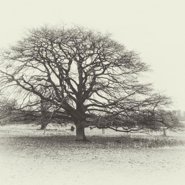 """""""Antique Tree"""" stock image"""