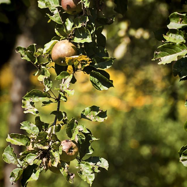 """""""Apple tree with ripe fruits to harvest"""" stock image"""