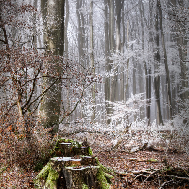 """Fairytale Forest in Winter"" stock image"