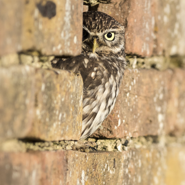 """""""Little Owl """" The Sentry """""""" stock image"""
