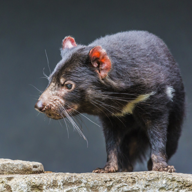 """Tasmanian devil close up"" stock image"