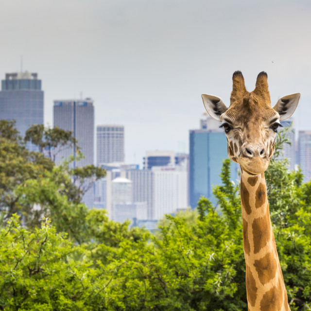 """Giraffes at Zoo with a view of the skyline of Sydney in the background"" stock image"