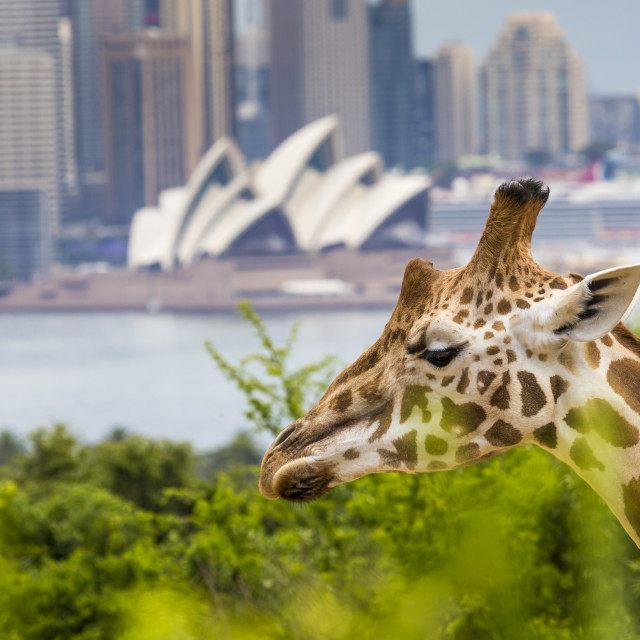 """SYDNEY, AUSTRALIA - DECEMBER 27, 2015. Giraffes at Taronga Zoo with a view of..."" stock image"