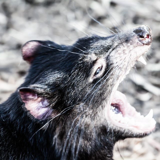 """Tasmanian Devil in Australia"" stock image"