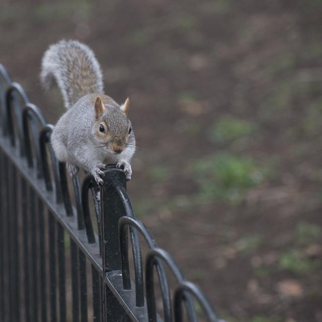 """squirrel on railing"" stock image"