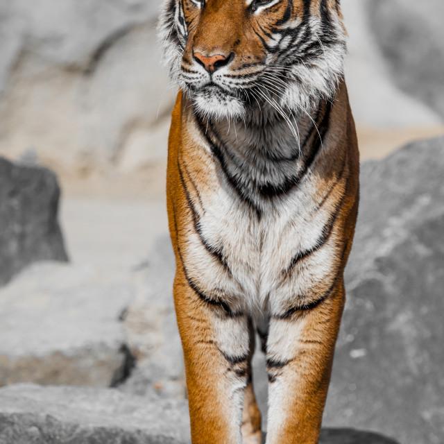 """Tiger Close Up Portrait"" stock image"