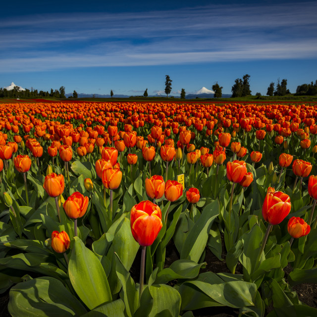 """Tulips"" stock image"