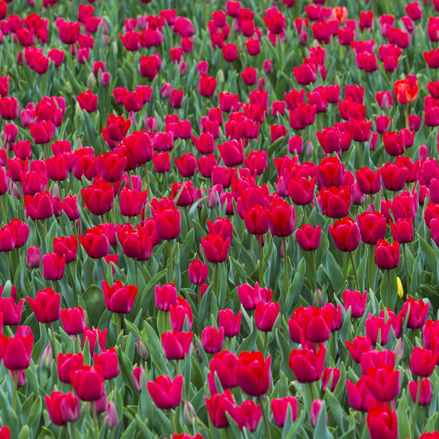 """""""Tulips in Chile"""" stock image"""