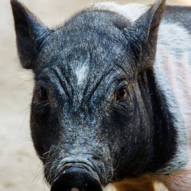 """""""Black and White Baby Pig Portrait"""" stock image"""