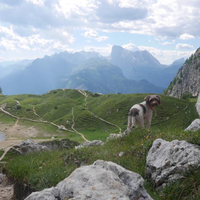 """""""Dolomites dog"""" stock image"""