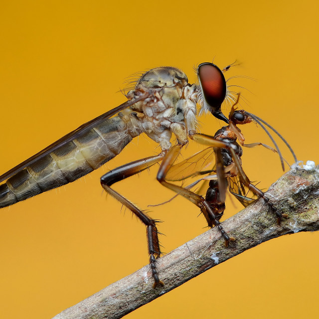 """""""Robber Fly With Prey"""" stock image"""