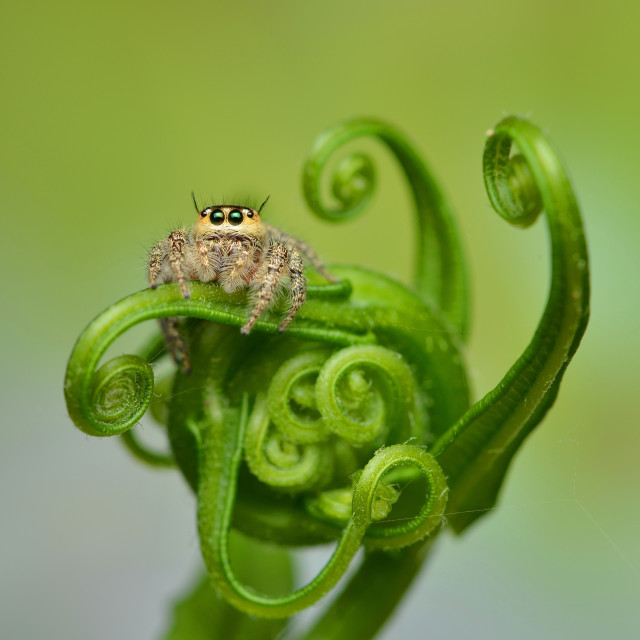 """Little Jumping Spider"" stock image"