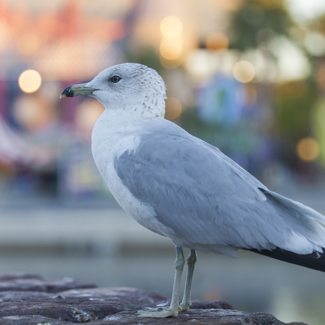 """Seagull on a pier in Orlando"" stock image"